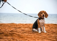 Beagle Puppies in Bangalore Call @ 8951-180-666
